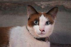 Il gatto ha occhi potenti Fotografia Stock Libera da Diritti