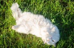 Il gatto lanuginoso bianco si trova sull'erba Fotografia Stock