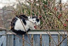 Il gatto lanuginoso macchiato che si siede su un cespuglio di recintare si ramifica Fotografia Stock