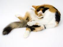 Il gatto lecca la pancia Immagini Stock Libere da Diritti