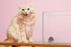 Il gatto leccato, vicino al criceto dell'acquario che si siede e che mangia formaggio Immagine Stock