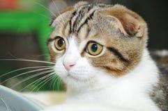 Il gatto lop-eared Fotografie Stock