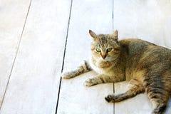Il gatto macchiato a strisce considera il pavimento Fotografia Stock Libera da Diritti