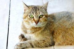 Il gatto macchiato a strisce considera il pavimento Immagine Stock