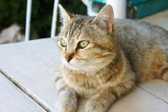 Il gatto macchiato a strisce considera il pavimento Immagini Stock