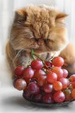 Il gatto mangia l'uva Fotografia Stock Libera da Diritti
