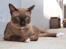 Il gatto marrone sveglio indica e fissando a noi Immagine Stock