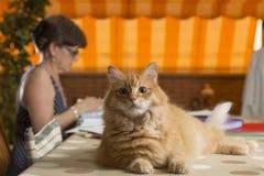 Il gatto nel Ministero degli Interni, sedentesi sulla tavola di lavoro Immagini Stock Libere da Diritti