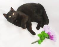 Il gatto nero con giallo osserva la menzogne, piegata, su un fondo grigio Fotografie Stock