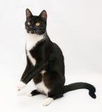 Il gatto nero con lo sparato ed il giallo bianchi osserva la condizione sul hin Fotografie Stock