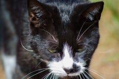 Il gatto nero del fronte scontroso, fronte bianco con giallo osserva in primo piano Fotografia Stock Libera da Diritti