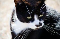 Il gatto nero del fronte scontroso, fronte bianco con giallo osserva in primo piano fotografia stock
