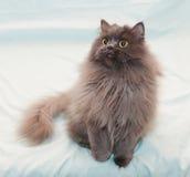 Il gatto nero fumoso lanuginoso con giallo osserva cercare, sollevare Immagine Stock