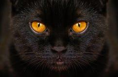 Il gatto nero serio del primo piano con giallo osserva nello scuro Il nero del fronte Fotografia Stock Libera da Diritti