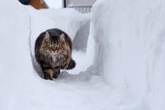 Il gatto norvegese della foresta passa l'alta neve Immagini Stock