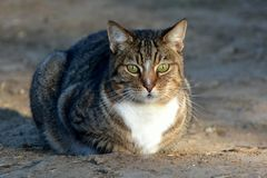 Il gatto obeso Fotografia Stock