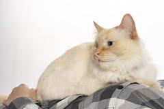 Il gatto obliquo beige si siede sulle suoi mani e sguardi fotografia stock