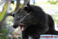 Il gatto orsino nero del bambino che cerca gli alimenti Immagine Stock Libera da Diritti