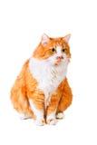 Il gatto osserva con interesse Fotografia Stock Libera da Diritti