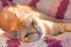 Il gatto peloso della testarossa sta sembrando gli occhi sonnolenti giusti Fotografia Stock Libera da Diritti