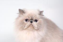 Il gatto persiano Fotografie Stock