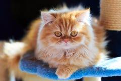 Il gatto persiano giallo sonnolento Immagine Stock
