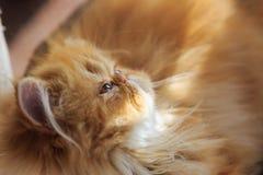 Il gatto persiano giallo sonnolento Fotografie Stock