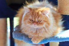 Il gatto persiano giallo sonnolento Immagini Stock Libere da Diritti
