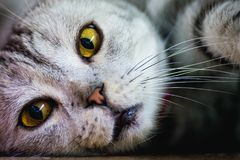 Il gatto pigro sta guardando fuori fotografia stock libera da diritti