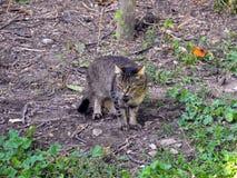 Il gatto porta il topo in suoi denti fotografia stock
