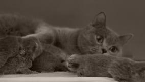 Il gatto prende la cura dei gattini stock footage