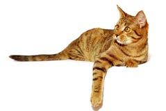 Il gatto rosso è isolato Immagine Stock