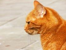 Il gatto rosso-arancio Fotografia Stock Libera da Diritti