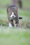 Il gatto runing Fotografia Stock