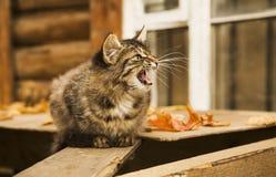 Il gatto rurale grigio è arrabbiato Fotografia Stock Libera da Diritti
