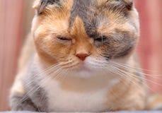 Il gatto scozzese del popolare riposa nel suo posto Immagini Stock Libere da Diritti