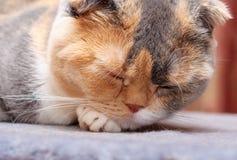 Il gatto scozzese del popolare riposa nel suo posto Fotografie Stock