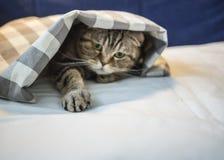 Il gatto scozzese si è nascosto sotto la coperta a quadretti e la a tirata immagini stock libere da diritti