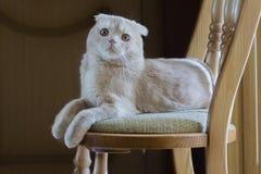 Il gatto scozzese si trova su una sedia fotografia stock