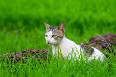Il gatto selvaggio che aspetta nell'erba ha abbracciato il campo immagine stock libera da diritti