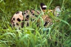 Il gatto selvaggio del Bengala sta trovandosi sull'erba fotografia stock