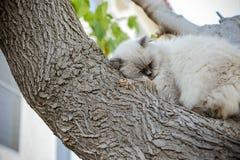 Il gatto selvaggio senza tetto rotola su sull'albero Via mal himalayano persiano Fotografie Stock Libere da Diritti