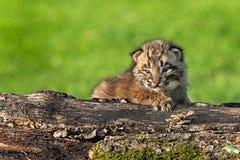 Il gatto selvatico del bambino (rufus di Lynx) fissa fuori dal ceppo Fotografia Stock