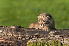 Il gatto selvatico del bambino (rufus di Lynx) si siede sul ceppo che guarda a sinistra Immagine Stock