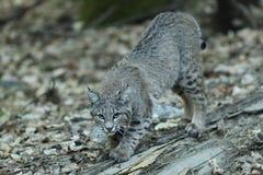 Il gatto selvatico graffia un ceppo Immagine Stock Libera da Diritti