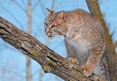 Il gatto selvatico (rufus del lince) in albero lecca il radiatore anteriore Fotografia Stock
