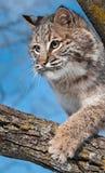 Il gatto selvatico (rufus del lince) graffia al ramo Fotografia Stock