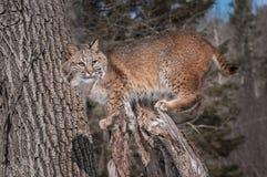 Il gatto selvatico (rufus del lince) sta sul ceppo Fotografie Stock Libere da Diritti