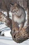 Il gatto selvatico (rufus di Lynx) guarda a sinistra dal ramo di albero Immagini Stock Libere da Diritti