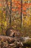 Il gatto selvatico (rufus di Lynx) si siede sul ceppo Immagini Stock Libere da Diritti